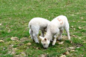 chatsworth-lambs