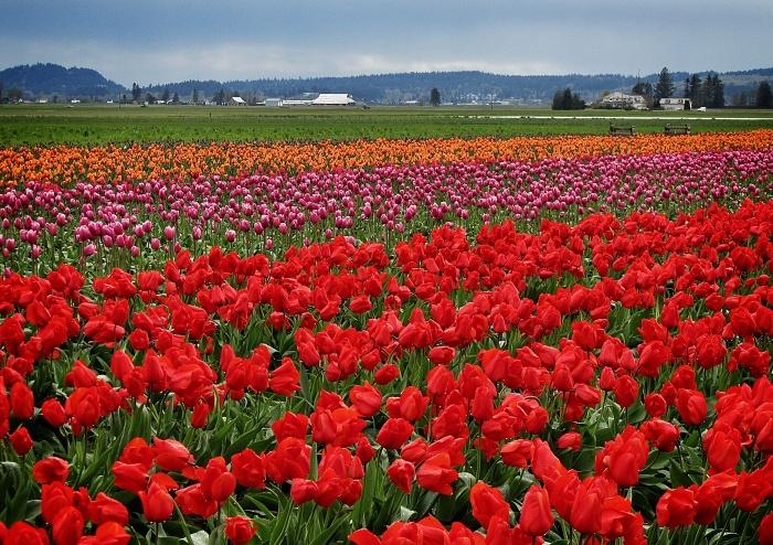 skagit-valley-tulip-festival-16